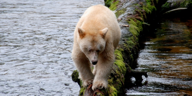 Kermode Bear - Princess Royal Island